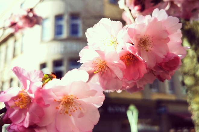 Kirschblüte in Rüttenscheid