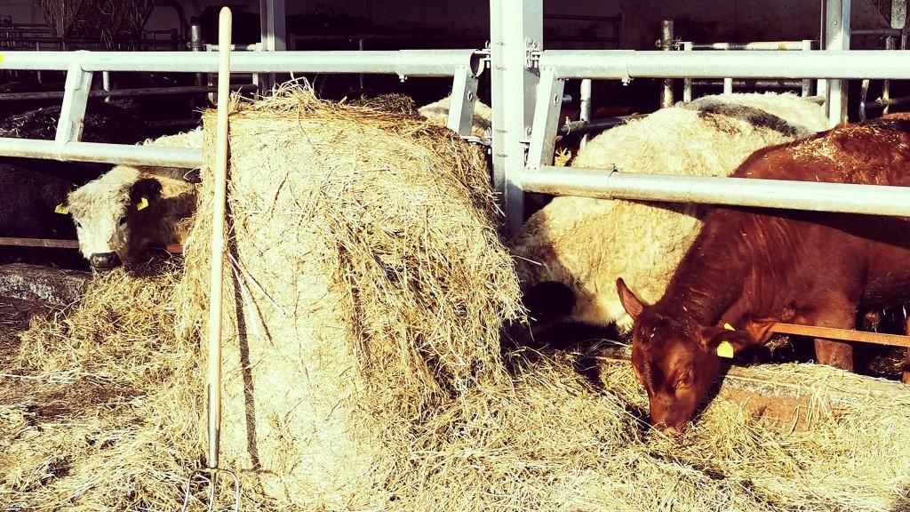 Galloway-Rinder auf dem Bauernhof Kammesheidt