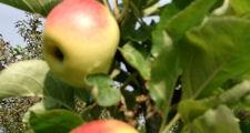 Foto: Äpfel an einem Baum