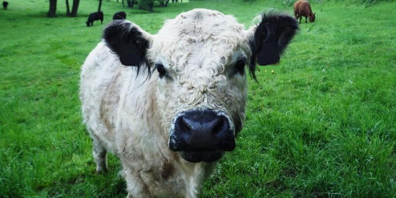 Foto: Kuh auf einer Weide