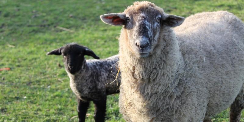 Foto: Schaf mit Lamm