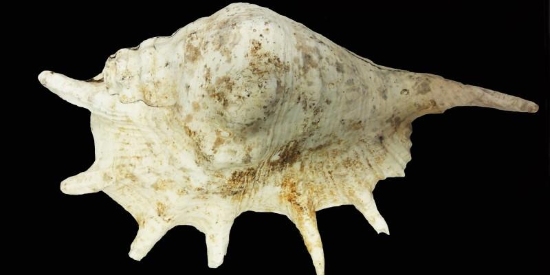 Foto: Die in Kettwig gefundene Riesenspinnenschnecke