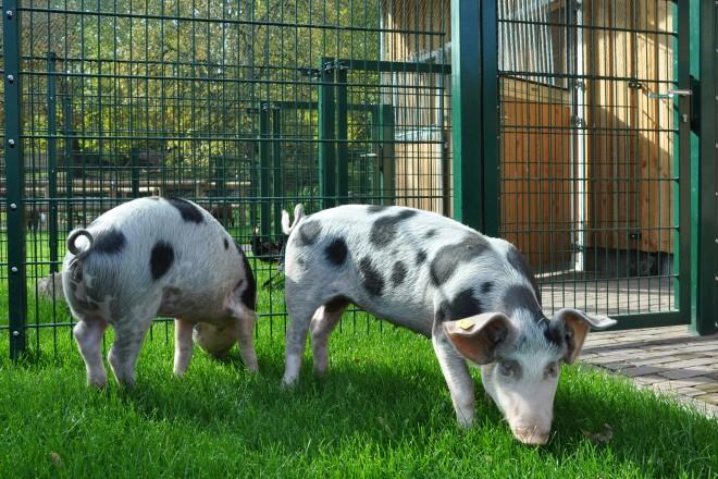 Bunte Bentheimer Schweine im Grugapark