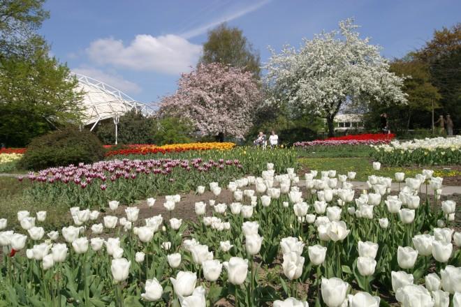 Tulpen blühen ind der Dahlienarena im Grugapark