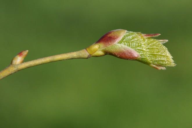 Laubaustrieb vom Lindenbaum