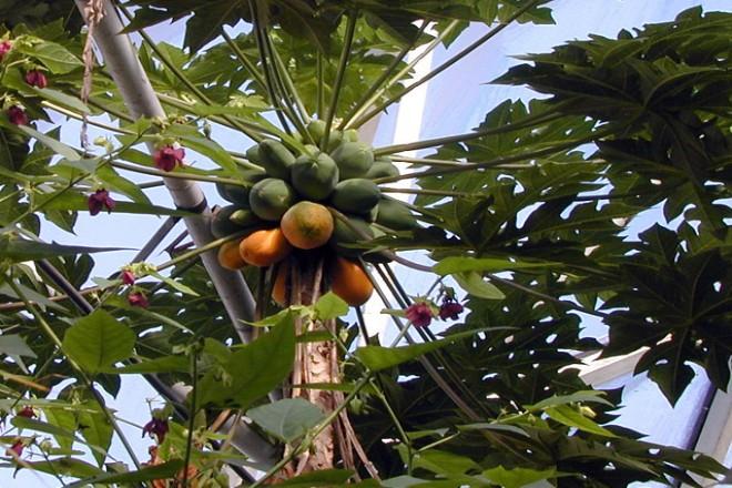 Foto: Früchte tragendende Papaya-Pflanze im Regenwald-Haus des Grugaparks Essen
