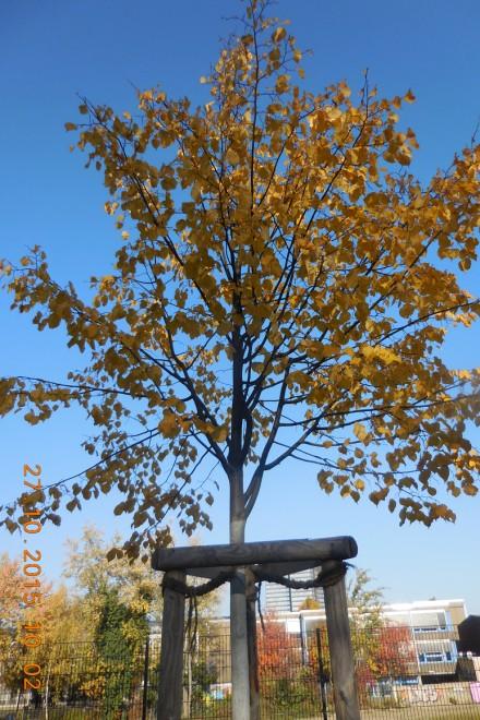Junger Straßenbaum mit herbstlich gefärbtem Laub