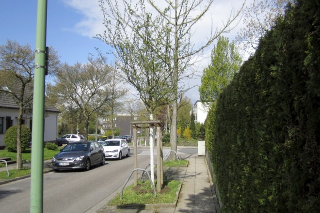 Junger Straßenbaum