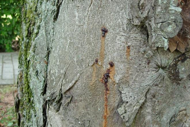 Schadbild der bakteriellen Pseudomonas-Erkrankung an einem Straßenbaum