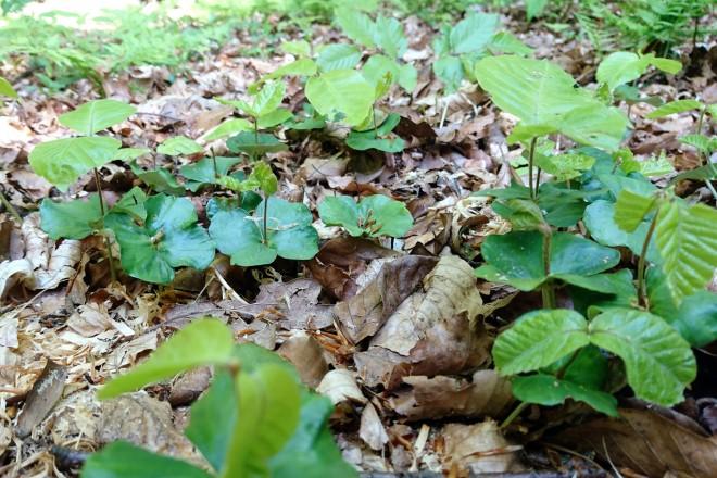 Buchensämlinge im Wald