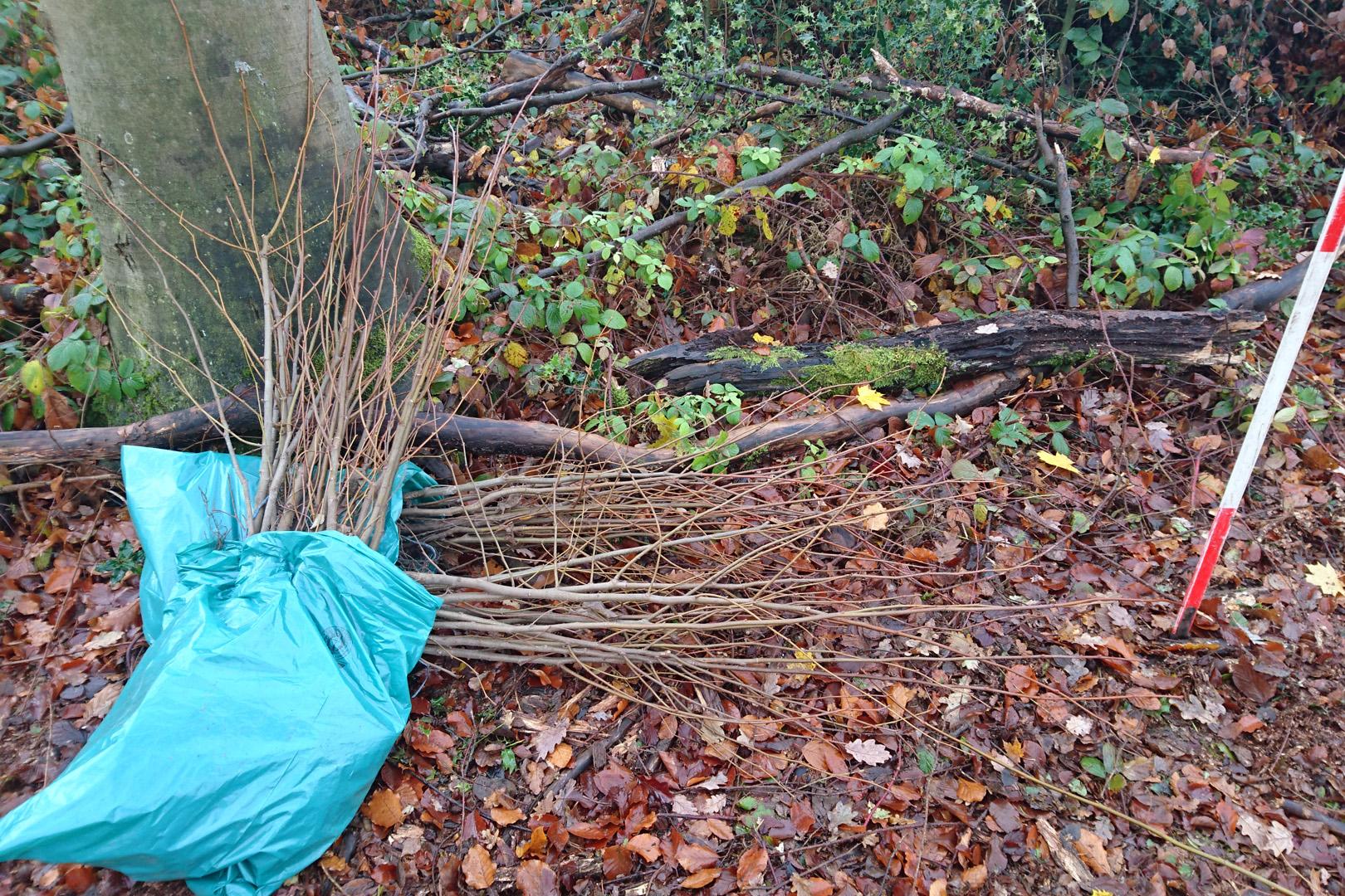 Baumschulware für die Pflanzung von Bäumen im Wald