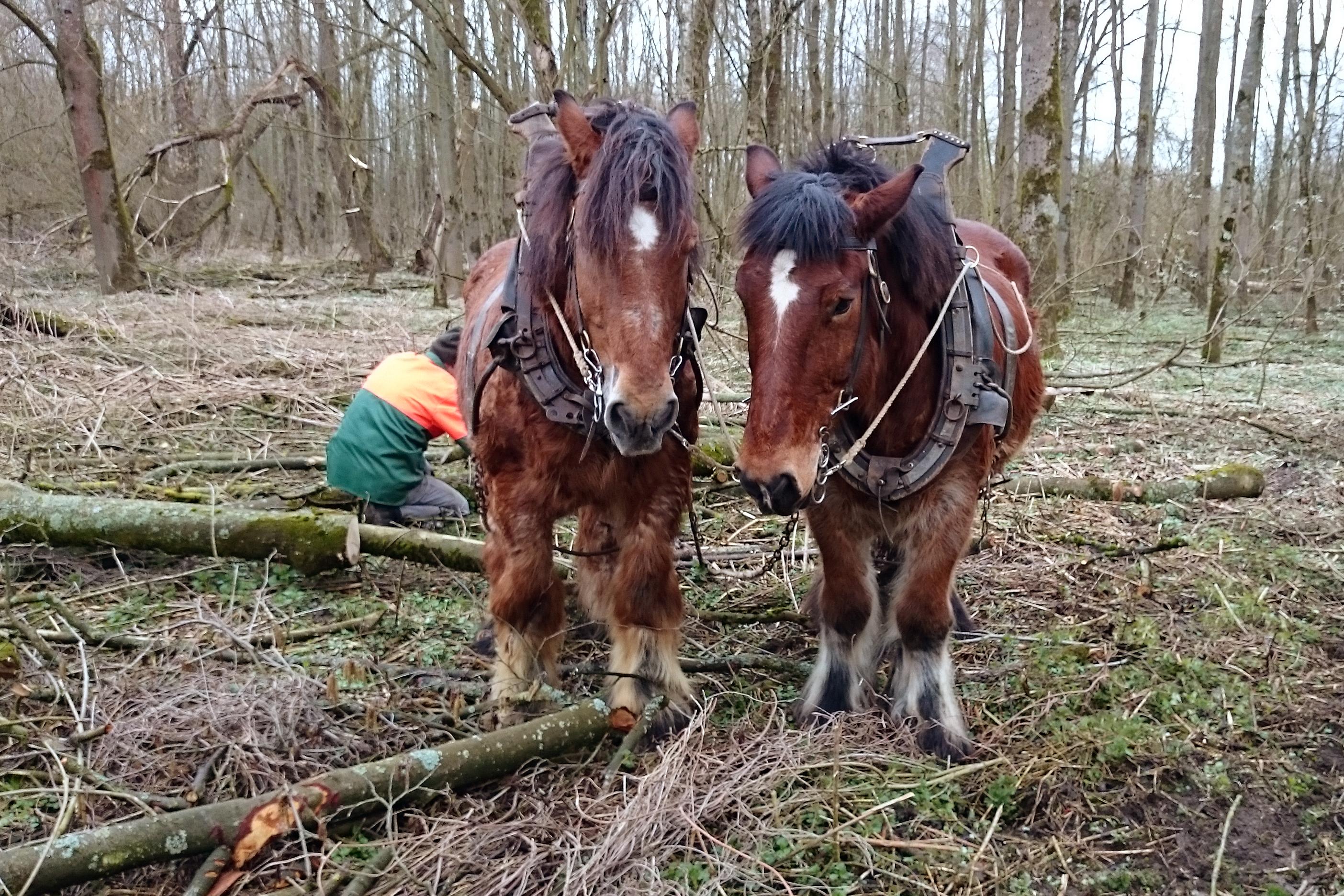 Einsatz von Rückepferden im Wald