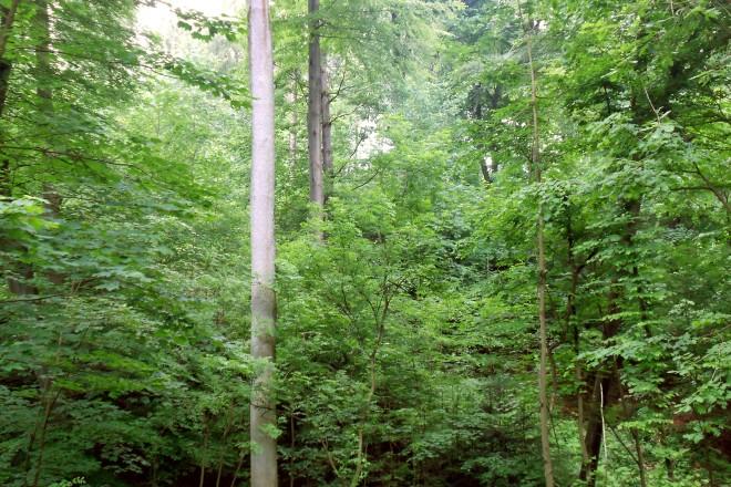 Stufiger Wald aus jungen und alten Bäumen