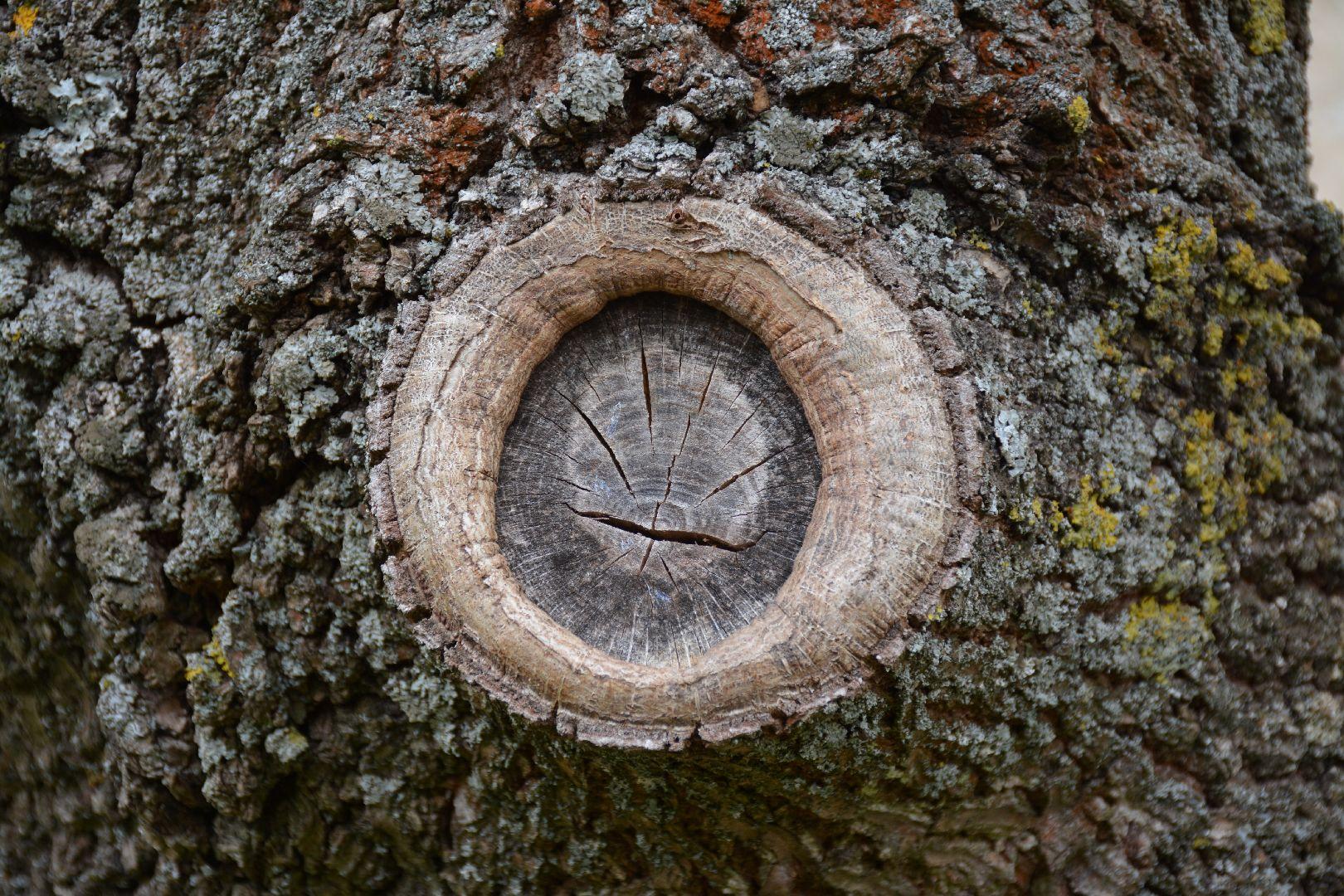 Callusbildung an einem Baum