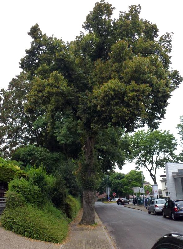 Beispiel eines Straßenbaumes mit ungünstigem Baumbeet