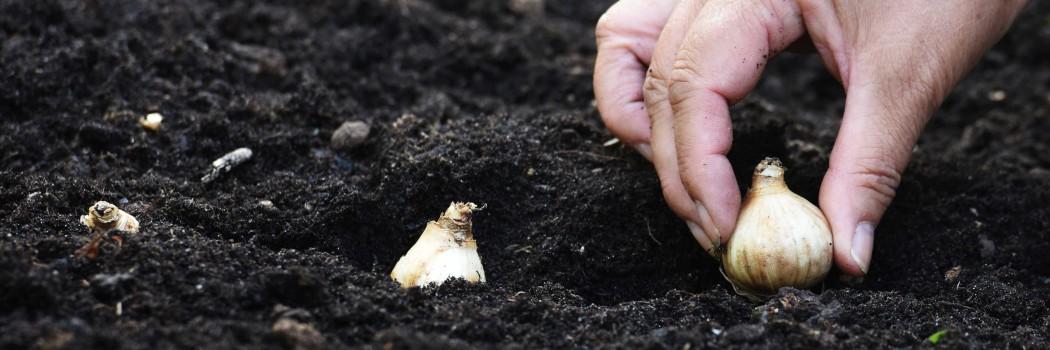 Eine Pflanzenzwiebel wird in die Erde gesetzt