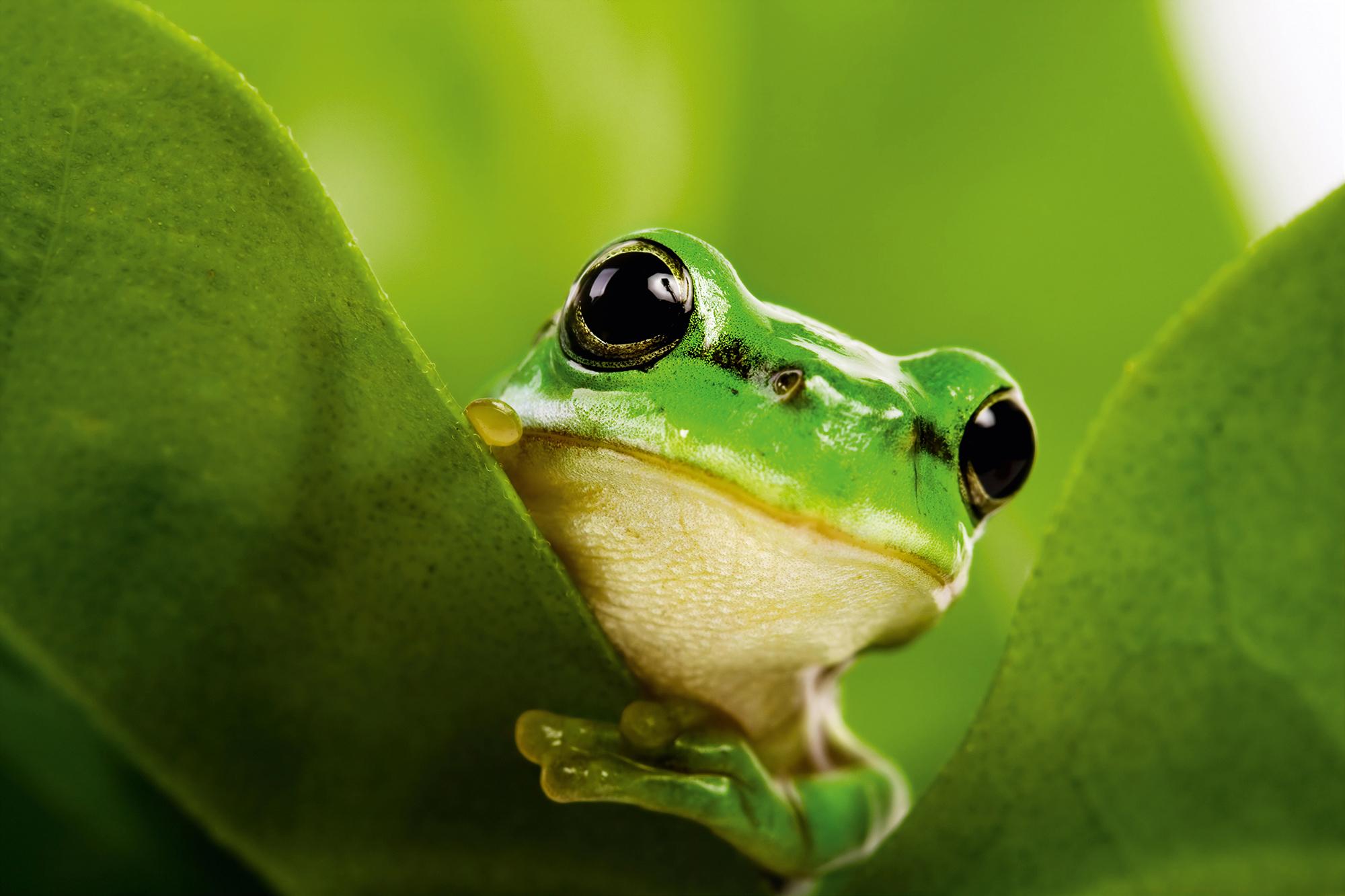 Grüner Frosch schaut zwischen grünen Blättern heraus.