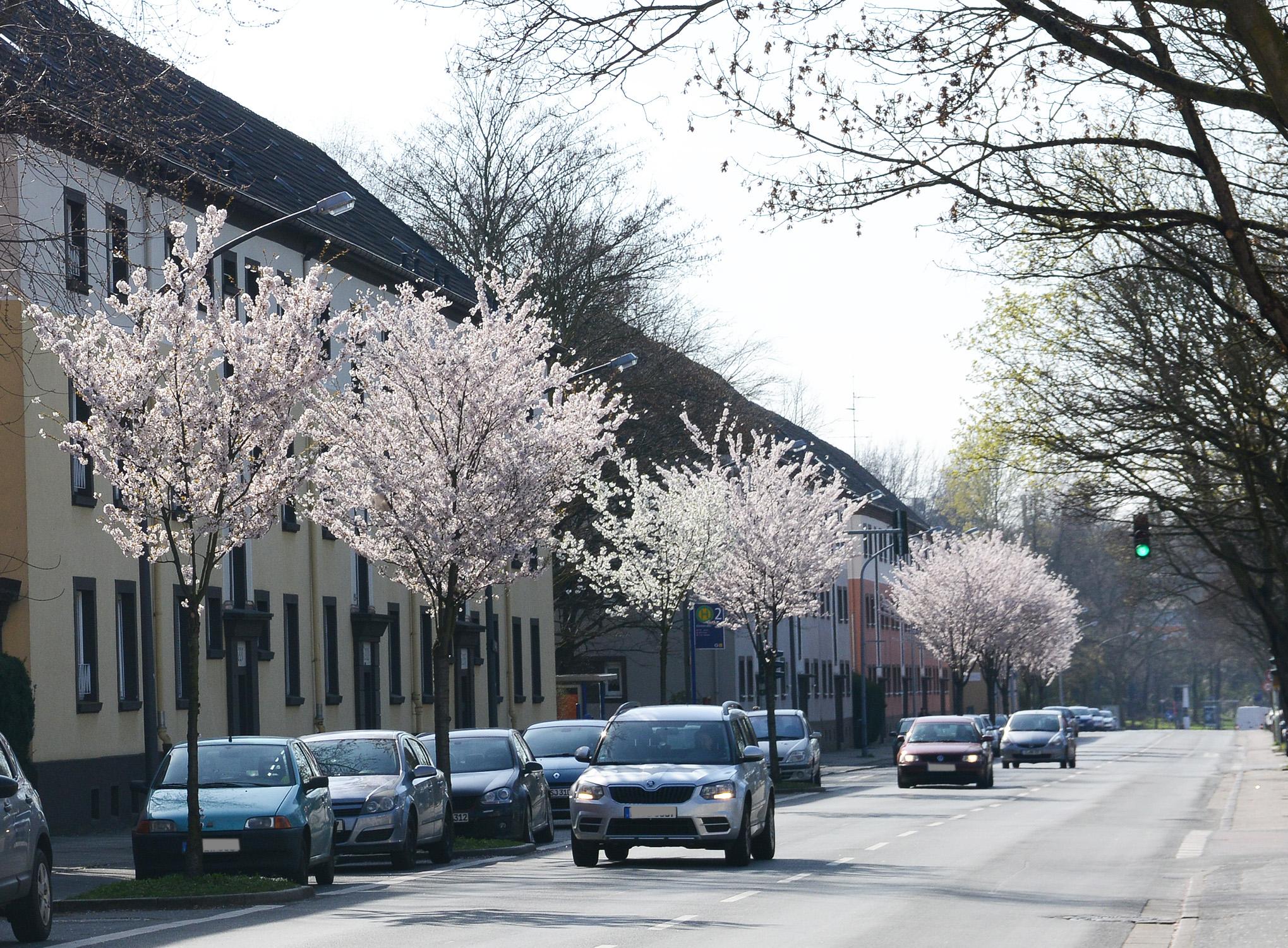 Blühende Bäume auf der Vogelheimerstrasse