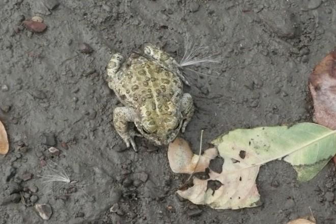Kreuzkröte auf Industriebrache