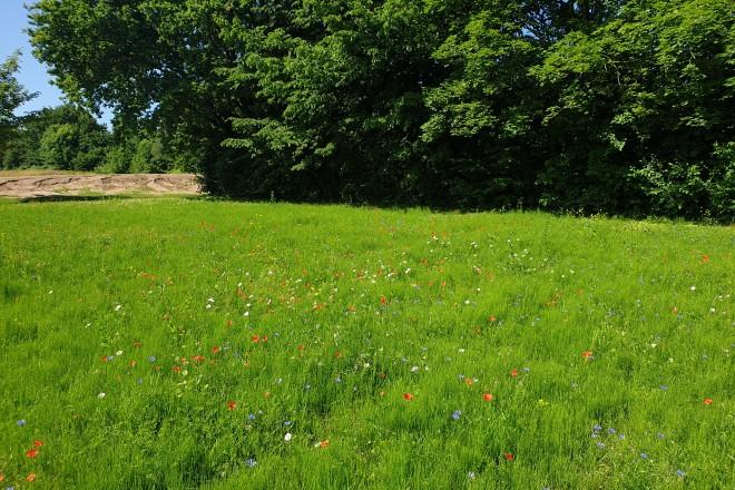 Ein wildes Summen ist derzeit auf dem Friedhof am Hellweg in Freisenbruch zu hören: Auf 5.400 Quadratmetern wurde im Frühjahr eine Wildblumenwiese angelegt.