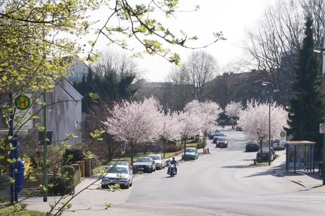 Kirschblüte an der Schönebecker Straße