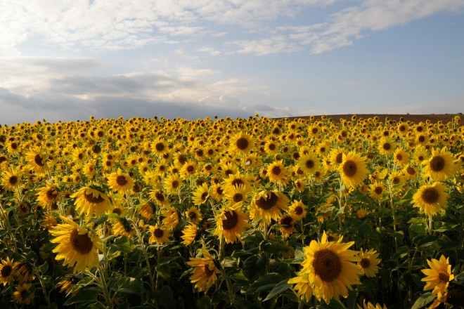 Sonnenblumenfeld in Essen-Schuir