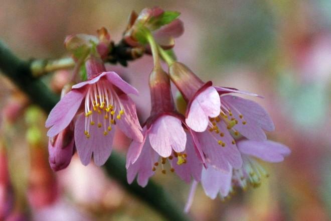 Zierkirschen blühen am Bauerngarten