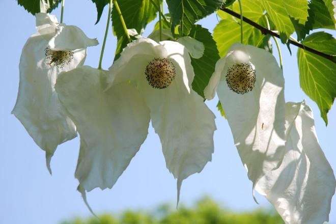 Der Taschentuchbaum blüht auf den Farbenterrassen