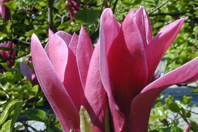 Die Purpur-Magnolie blüht im Asienteil