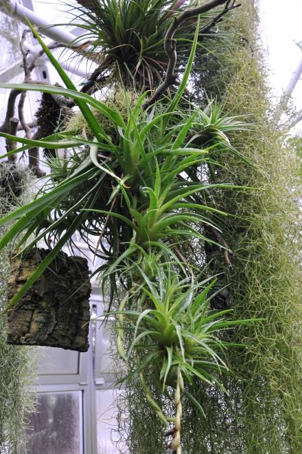 Epiphyten - Aufsitzerpflanzen im Bergnebelwaldhaus