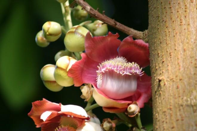 Der Kanonenkugelbaum blüht im Regenwaldhaus