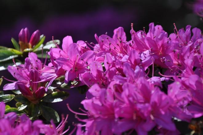 Blühende Azaleen im Alpinum