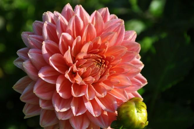 Dahlienblüte in der Dahlienarena