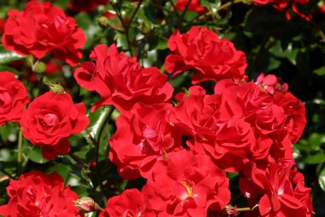 Grugapark-Rose