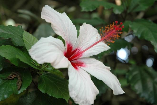 Der weiße Hibiscus blüht im Regenwaldhaus