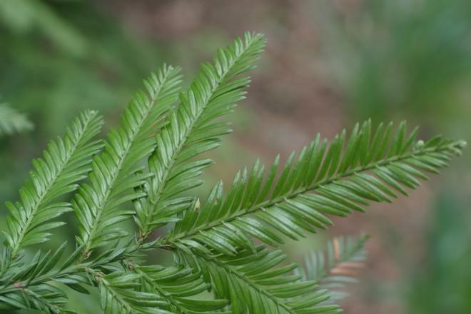 Zweig von der Küsten-Sequoie im Koniferenteil