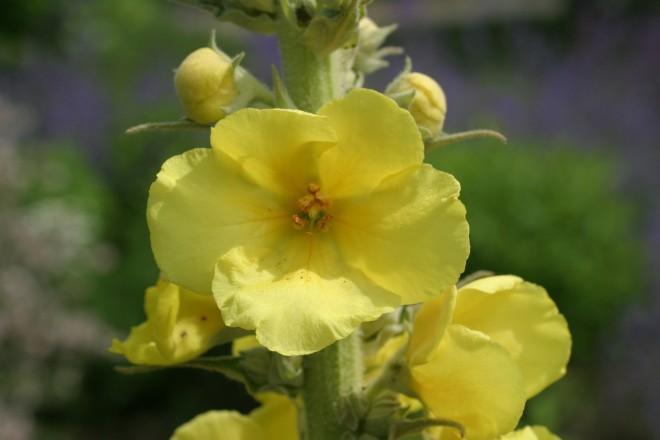 Blüte von der Königskerze im Kräutergarten
