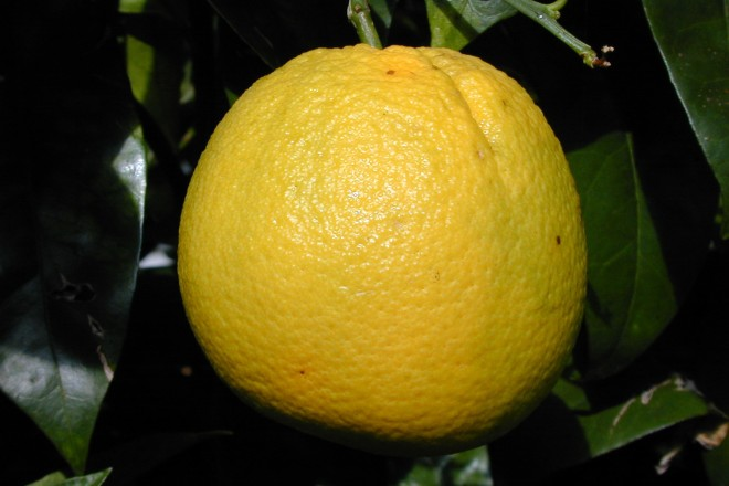 Reife Orange im Mediterraneum