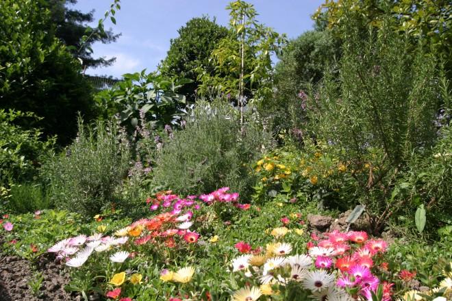 Blühende Mittagsblumen im Mittlemeergarten