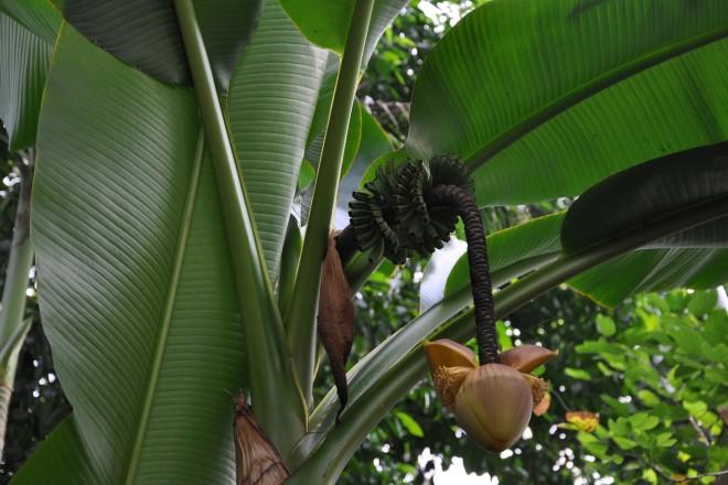 Blütenstand einer Bananenstaude im Regenwaldhaus