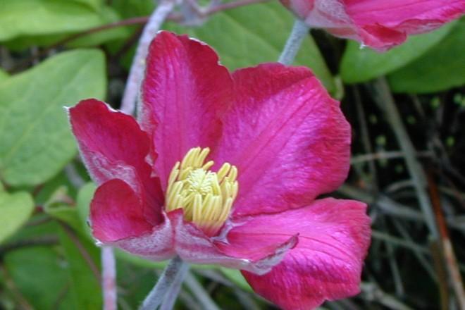 Clematis 'Ernest Markham' blüht im Schlingpflanzen-Teil