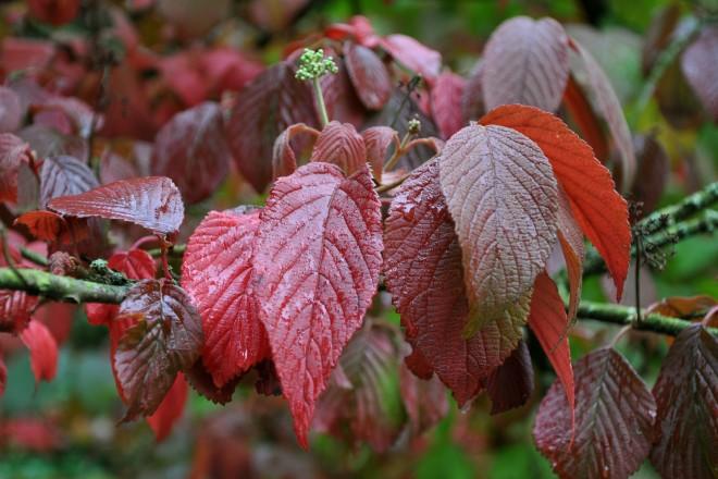 Herbstliches Laub vom Filzigen Japanischen Schneeball