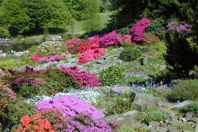 Azaleen blühen im Alpinum