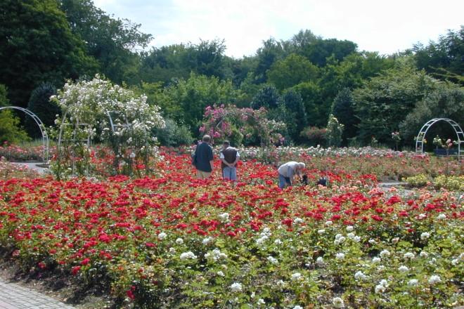Rosenblüte im Rosengarten