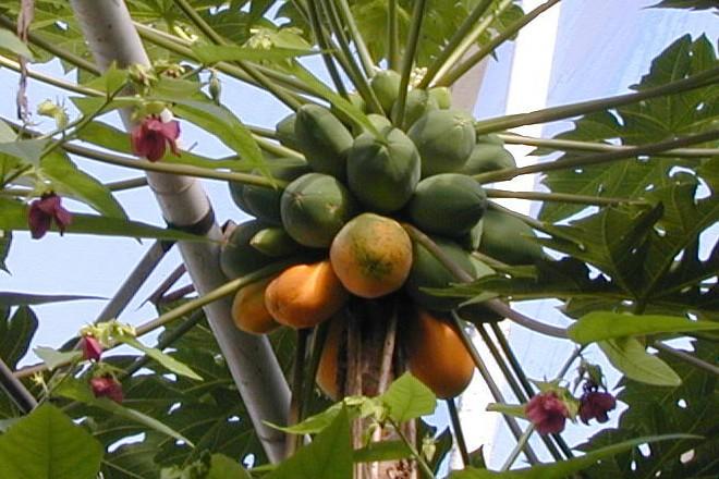 Papaya-Pflanze im Regenwaldhaus