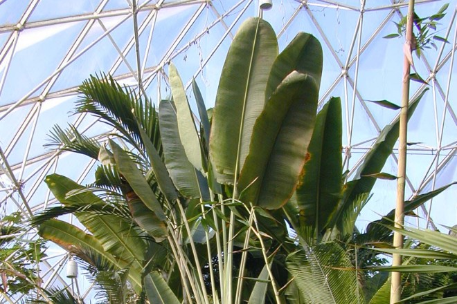 Baum der Reisenden im Regenwaldhaus
