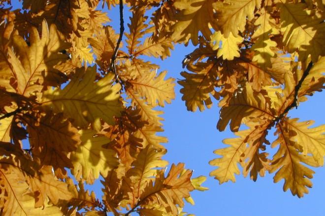 Herbstliches Laub der ungarischen Eiche im Waldtal