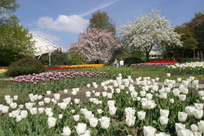 Tulpen blühen in der Dahlienarena