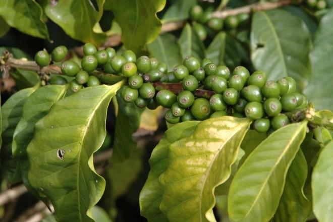 Unreife Kaffeekirschen