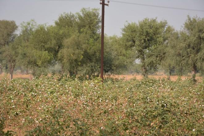 Baumwollfeld in Indien